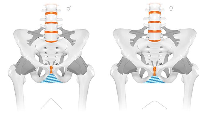 Bei dem Mann (links) verlaufen die Schambeine steiler nach oben. Wohingegen bei der Frau (rechts) der Schambeinbogen deutlich tieferliegt. Der Sitzknochenabstand einer Frau ist nicht zwingend größer als der beim Mann.